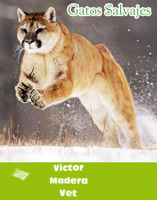 Gatos salvajes #cats #gatos #inlove #nature #VictorMadera #VictorMaderaVet