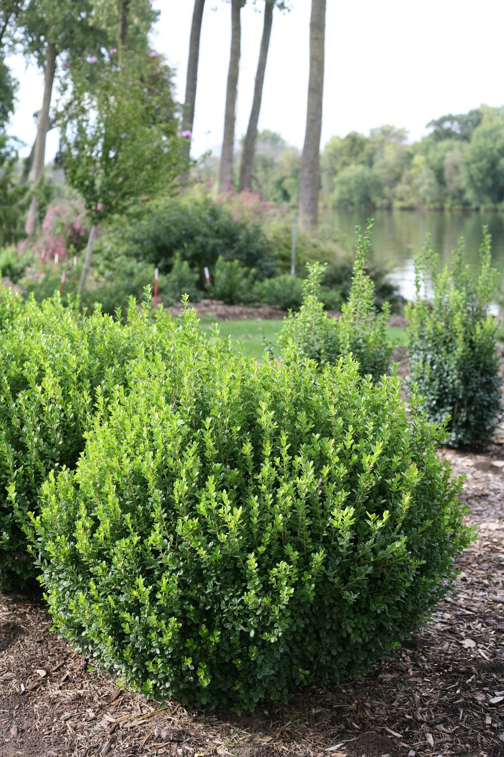 39+ Winter gem boxwood growth rate information