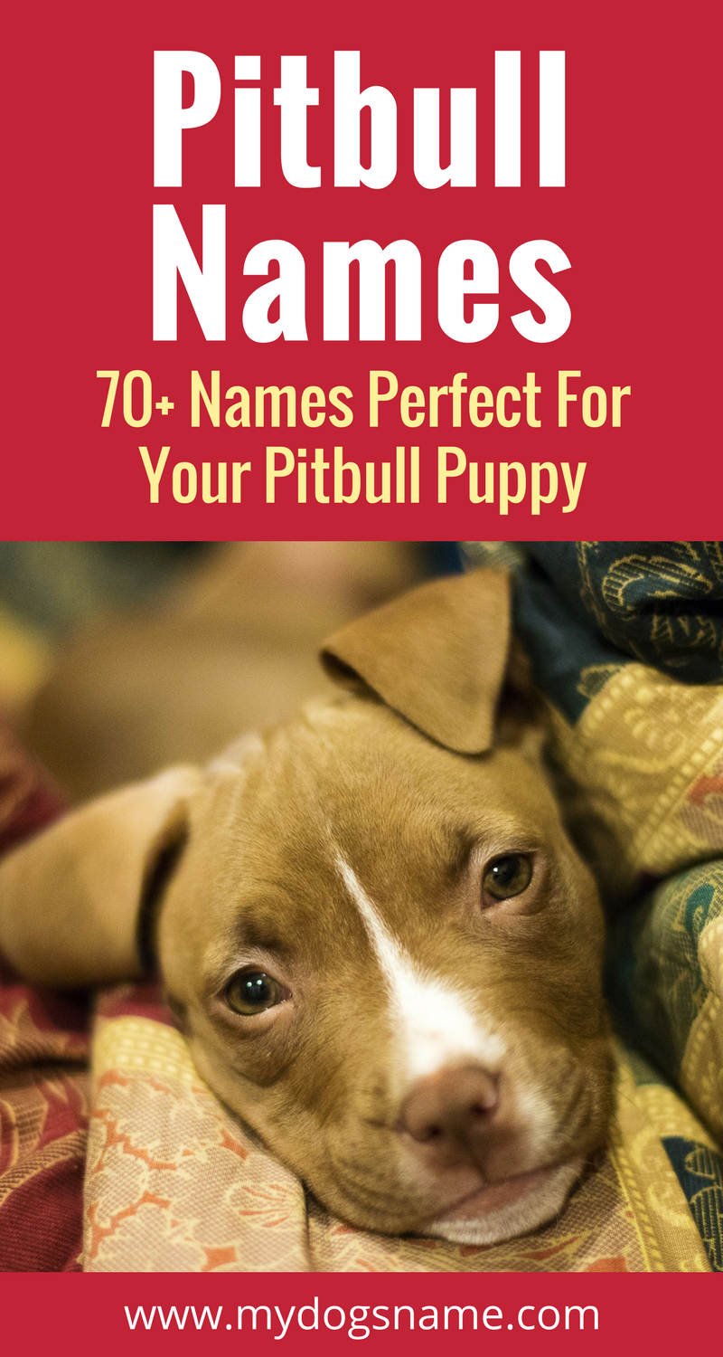 Top 180 Pitbull Dog Names From Male To Female Badass To Cute In 2020 Pitbull Puppy Names Puppies Names Female Pitbull Dog Names