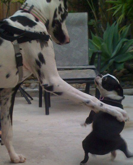 And Then Suddenly The Great Dane Stood Up Iggy Boston Terrier