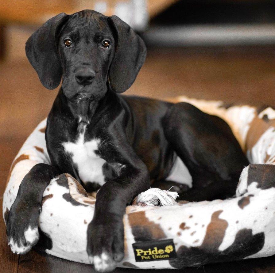 25 Female Great Dane Dog Names The Paws Dane Dog Great Dane