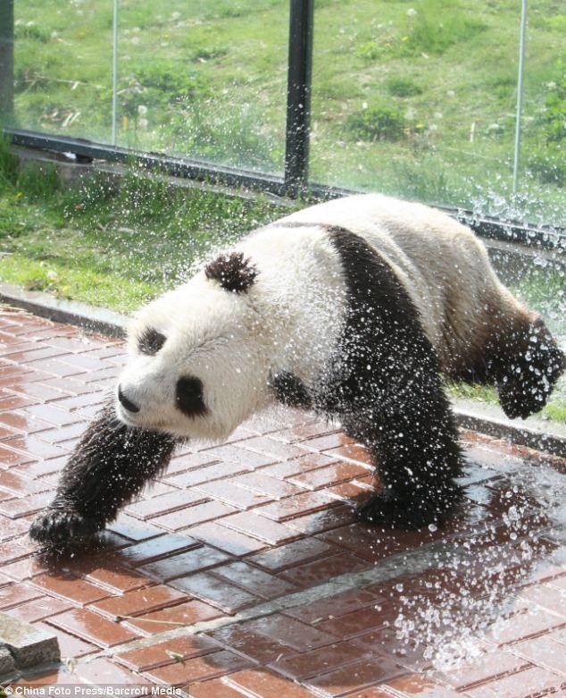 Panda plays in the water.