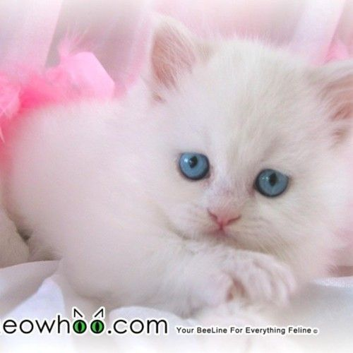 Cute White Kittens With Blue Eyes Wallpaper