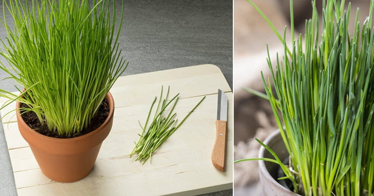How To Grow Chives Year Round Indoors Growing Chives Indoor Flowers Growing Plants Indoors