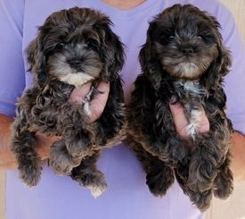 Los Angeles California Cockapoo Puppies For Sale Cockapoo Puppies Dogs