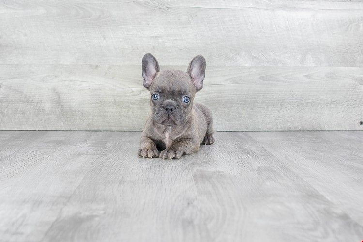 French Bulldog Puppies Blondes In 2019 Bulldog Puppies French
