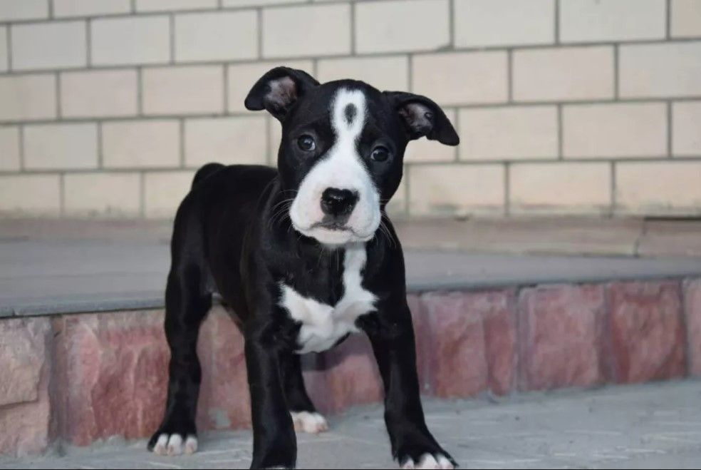 10 Best Pitbull Dog Names Dog Names Pitbull Dog Names Female