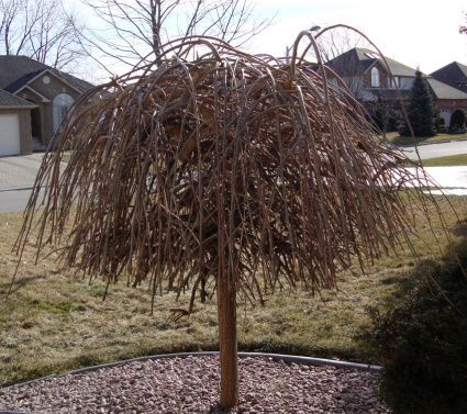 Weeping Dwarf Mulberry In Winter Weeping Mulberry Tree Mulberry Tree Tree Care