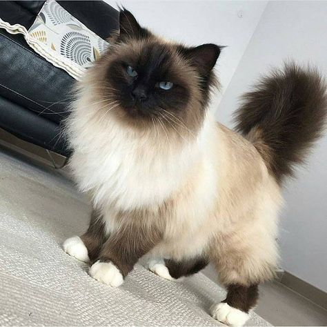 ragdoll images fluffy cats ofImages of Fluffy Ragdoll