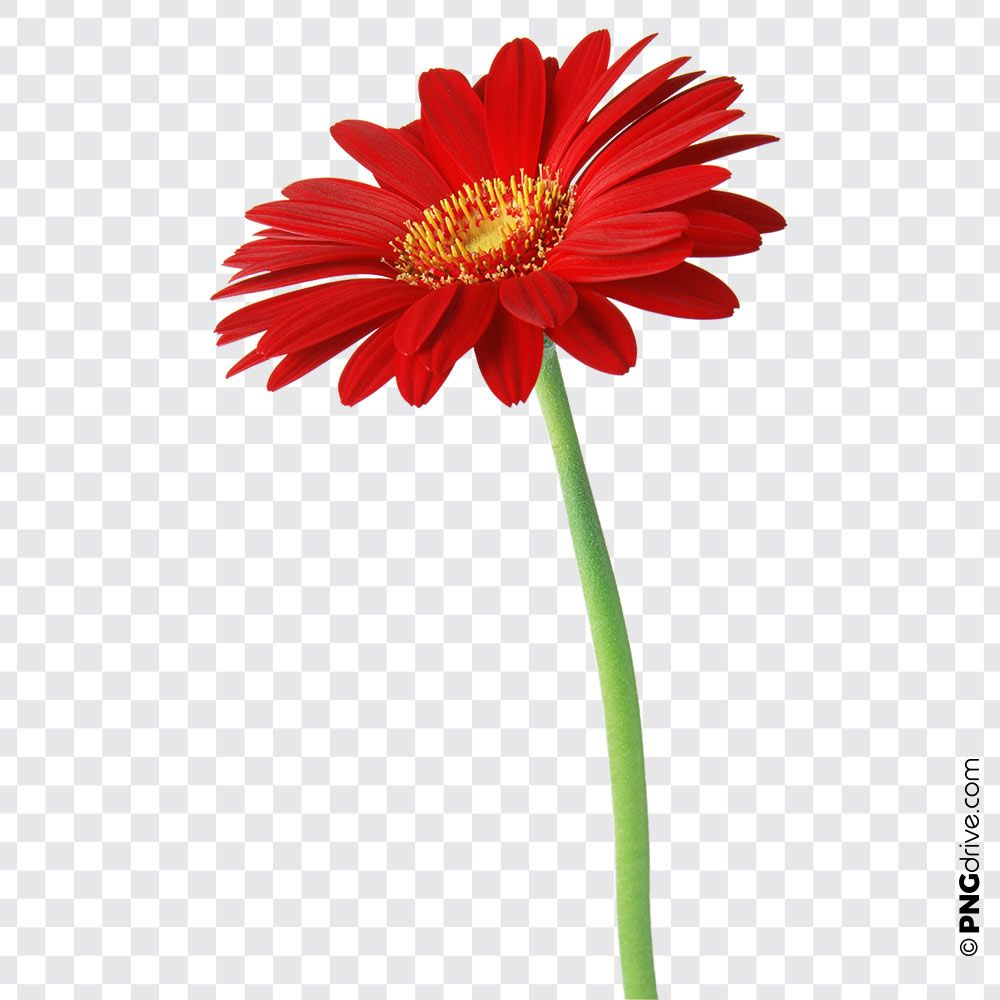 Pin By Png Drive On Flower Vector Png Flower Png Images Daisy Flower Flowers