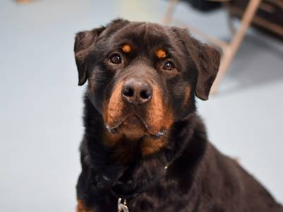 Rocky S Web Page On For The Love Of Dog Rottweiler Rescue In 2020
