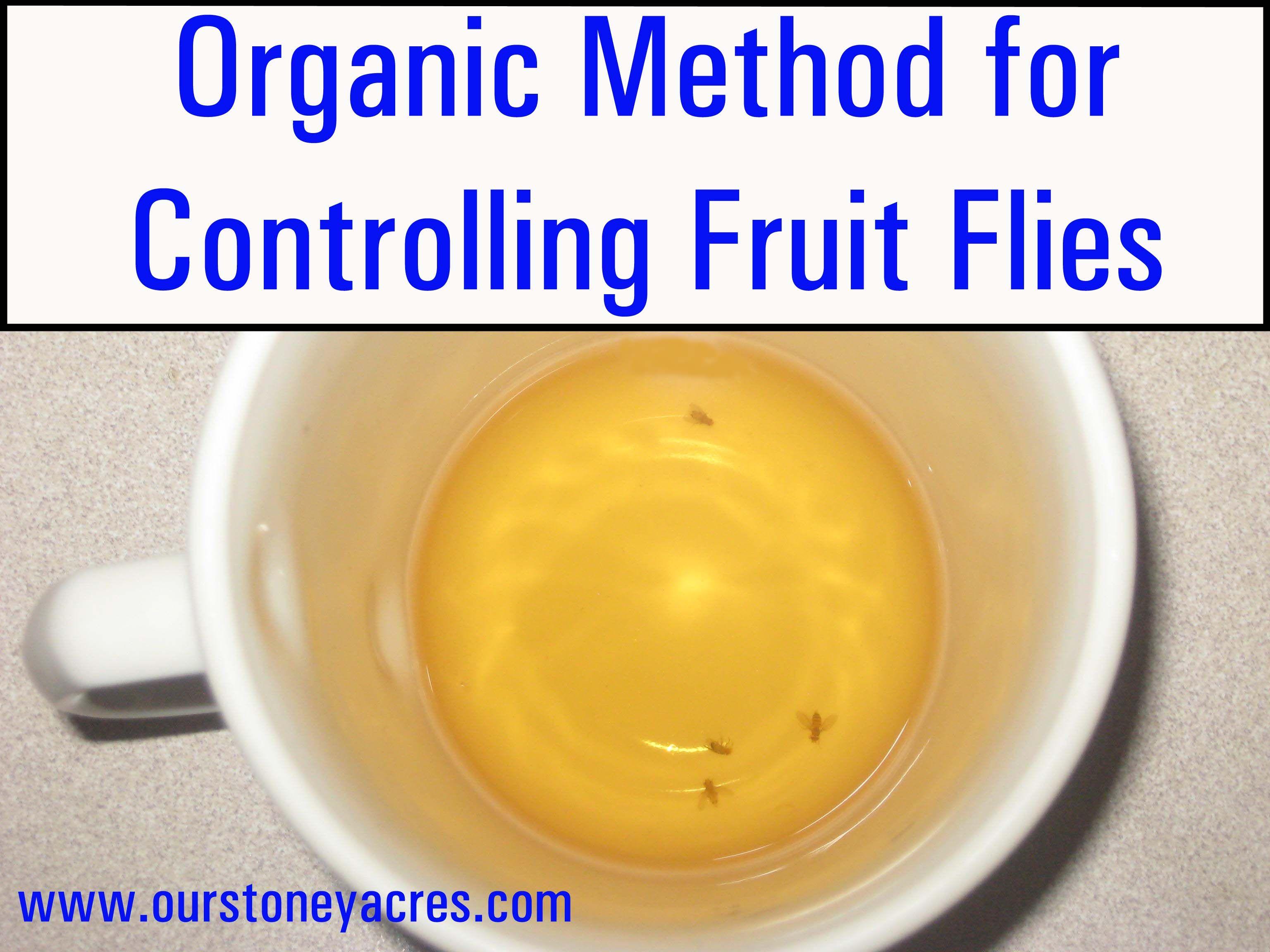 Diy friday organic method for controlling fruit flies organic
