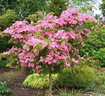 Pink Dogwood Tree Satomi Chinese Dogwood Cornus Kousa Satomi