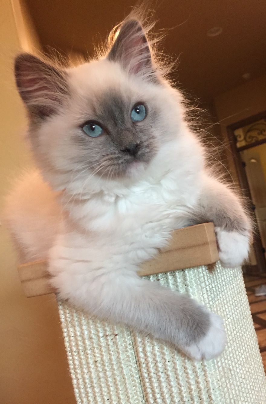 King 12 Weeks Blue Point Mitted Ragdoll Ragdoll Cat Cats Ragdoll Kitten