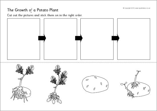 Potato plant growth sequencing worksheet SB9782 SparkleBox – Plant Worksheet