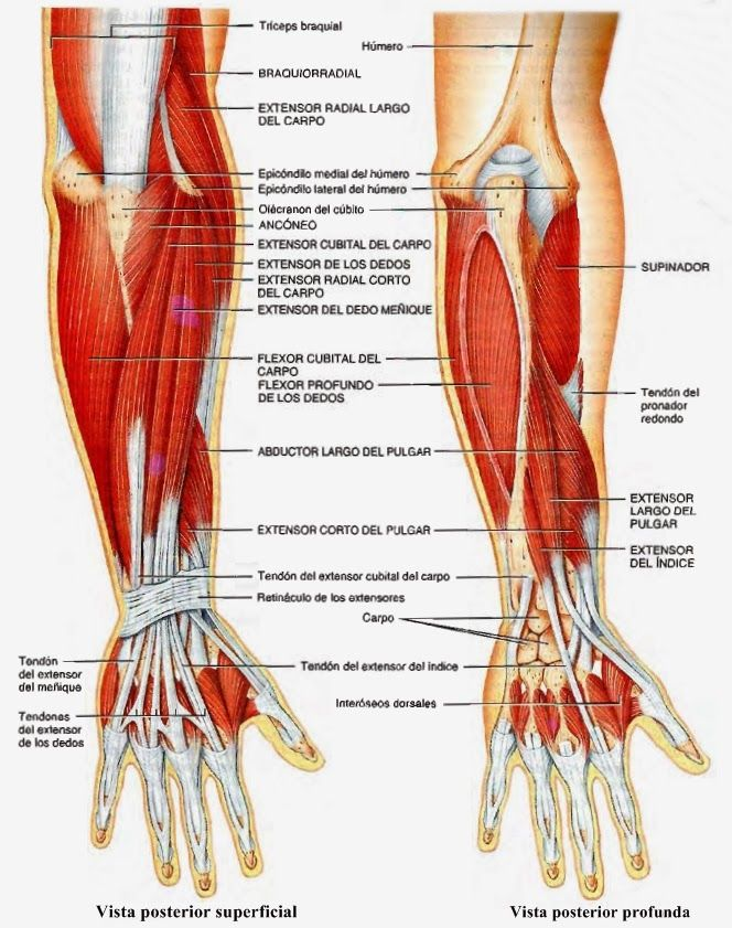 Resultado de imagen para region anterior del antebrazo | Anatomía ...