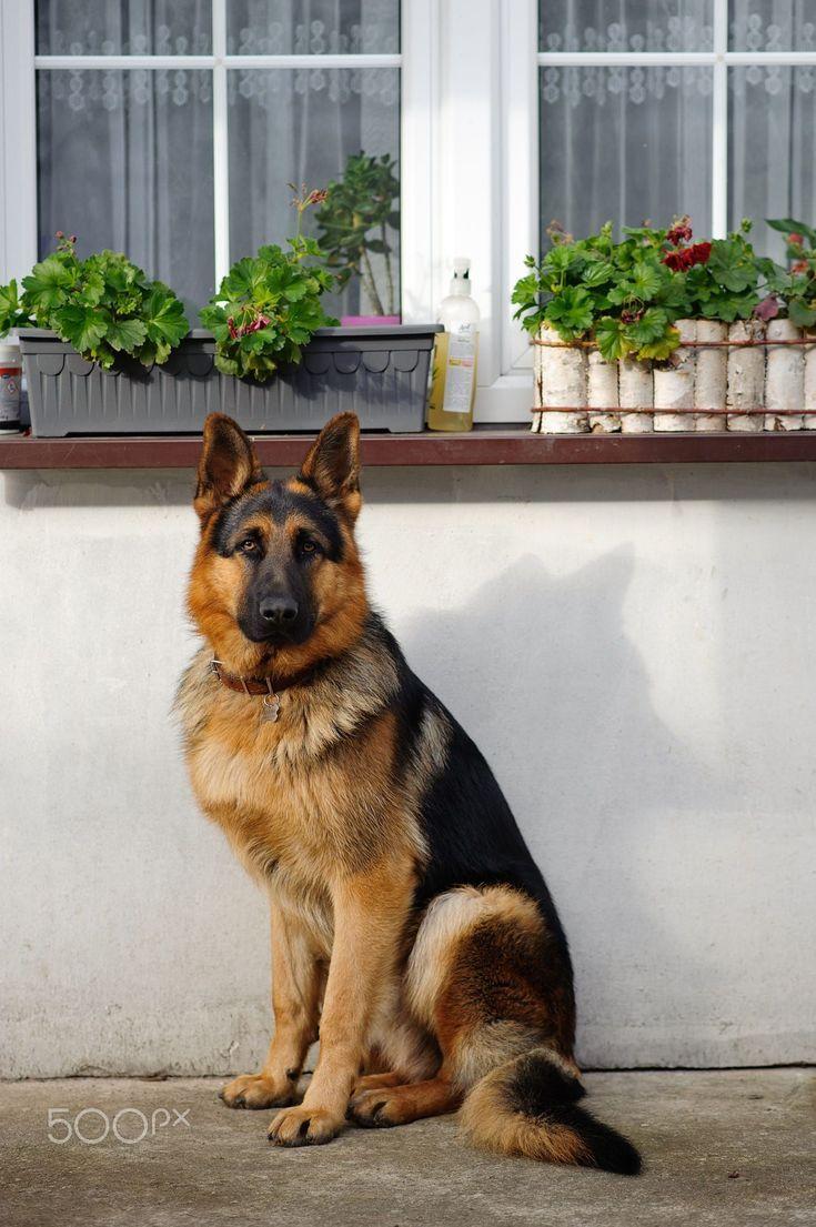 Entdecken Sie die Geheimnisse des Deutschen Schäferhundes