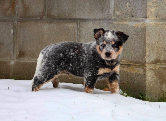 Have You Been Thinking About Adopting A Cattle Dog This Is Your Sign Click Here To Find Out Mo With Images Australian Cattle Dog Puppy Australian Cattle Dog Cattle Dog