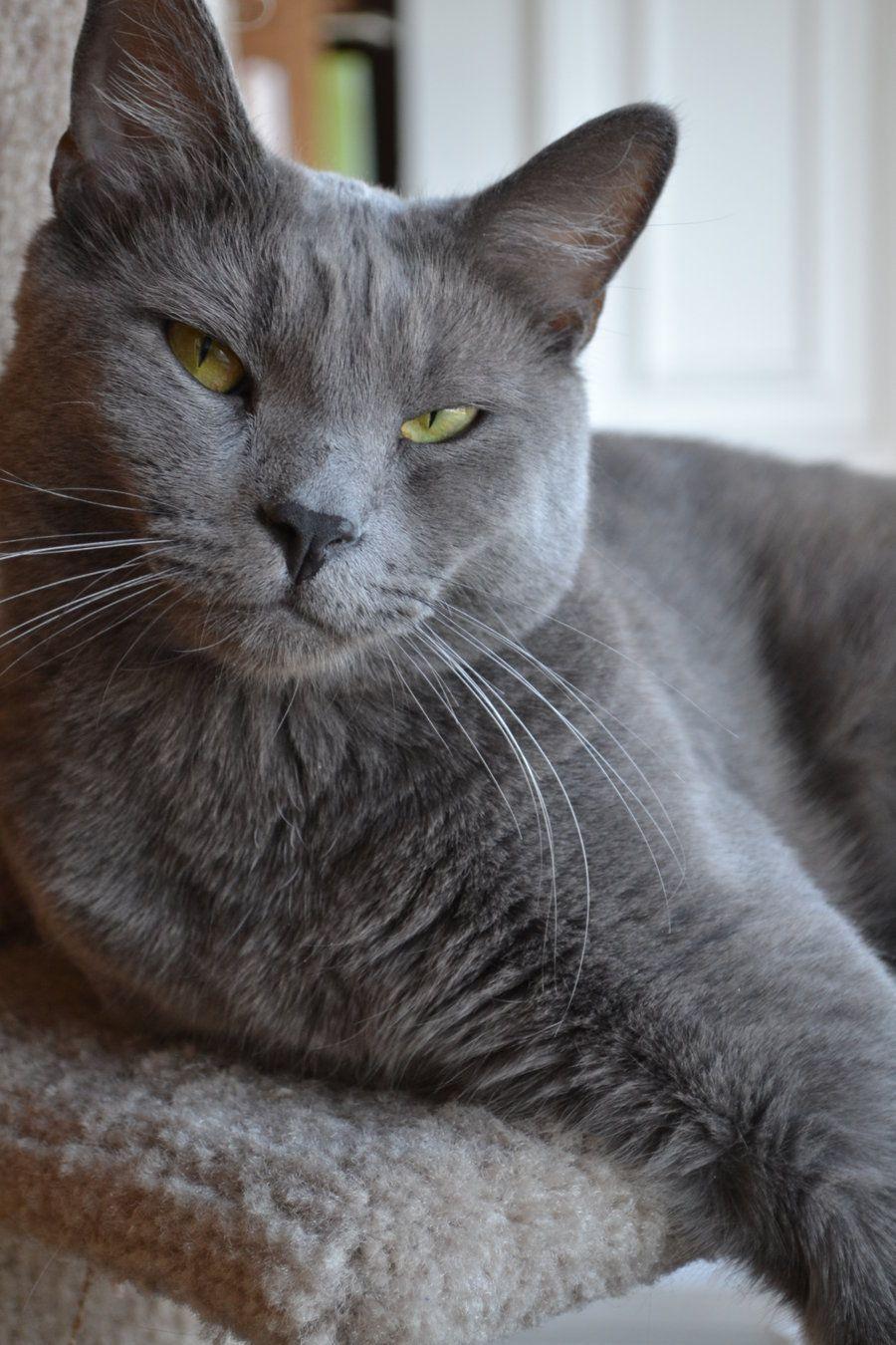 os gatos mais bonitos do mundo Pesquisa Google