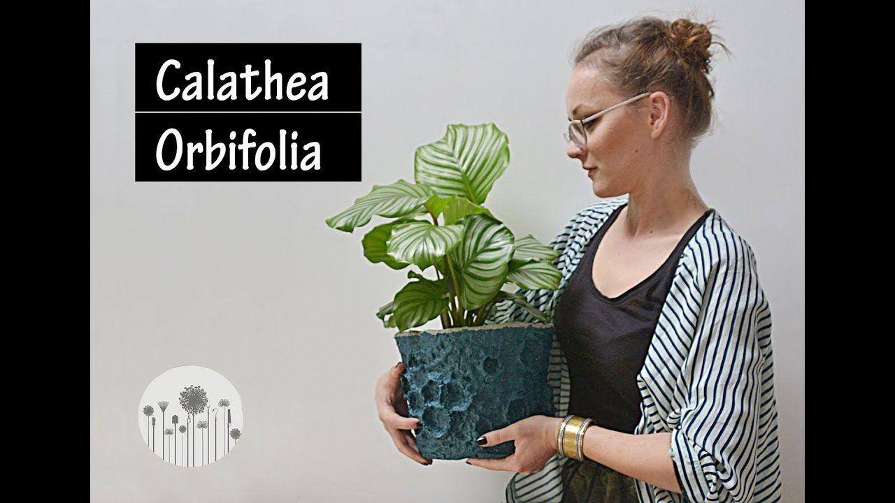Calathea Orbifolia Wymagania Pielegnacja I Uprawa Dlaczego Liscie Kalatei Zolkna I Brazowieja Calathea Orbifolia Calathea Plants