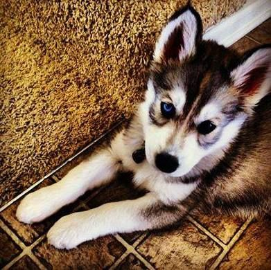 Cosmo Wolf Grey Siberian Husky Cute Animals Husky Husky Puppy