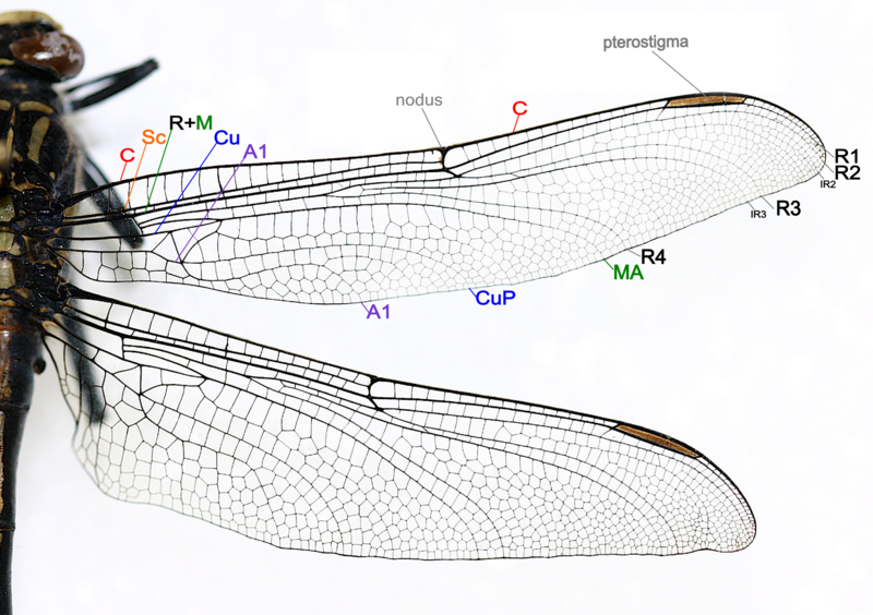 File Dragonfly Wing Structure Png Wikimedia Commons Insect Wings Dragonfly Wings Dragonfly