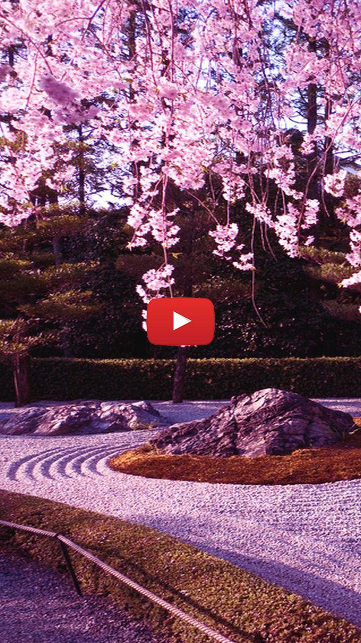 55 Cherry blossom background live wallpaper di 2020