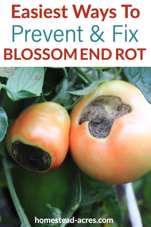 Blossom end rot in tomatoes is one of the most frustrating problems when you grow tomatoes in your garden. But don�t worry it�s easy to fix! Check out these simple tips for caring for tomatoes so that they grow well and produce healthy fruit.