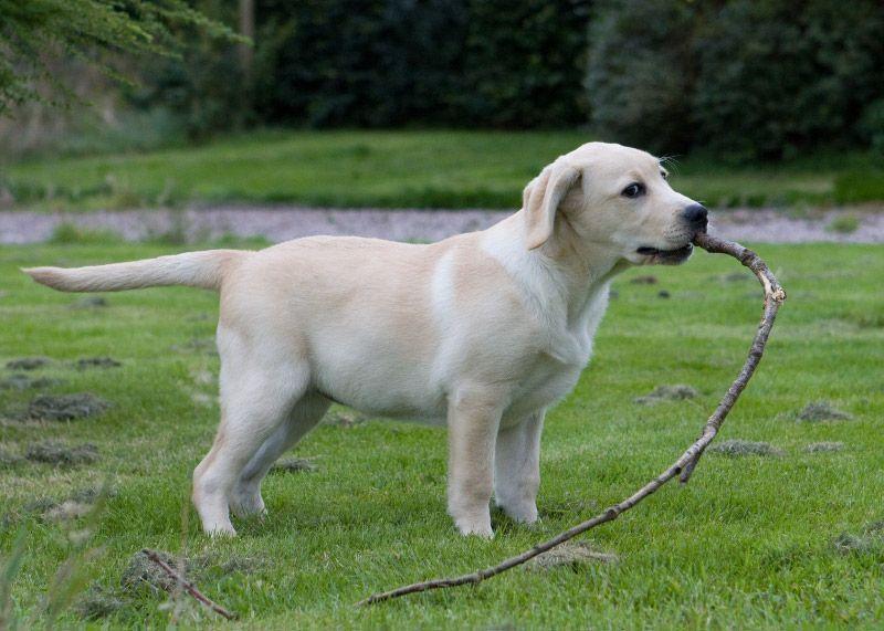 English Labrador Labradorretriever Labrador Retriever Labrador