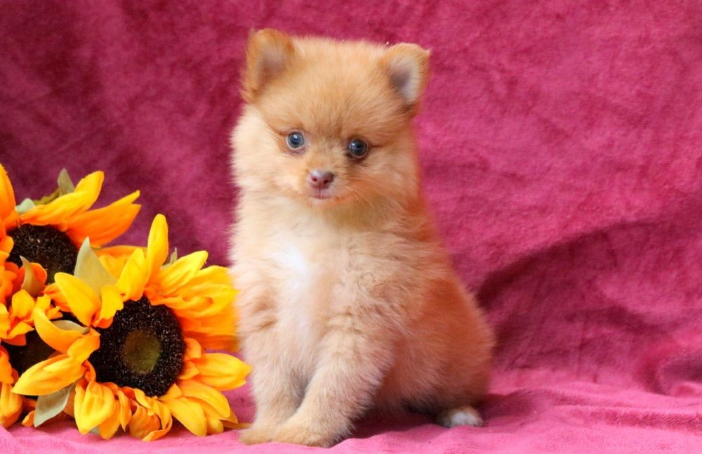 Moe with images pomeranian puppy puppies pomeranian