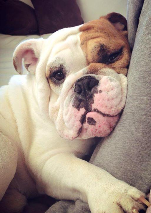 Pin Von Alex Baier Auf Englisch Bulldog Bulldogge Hunde Haustiere Kaufen
