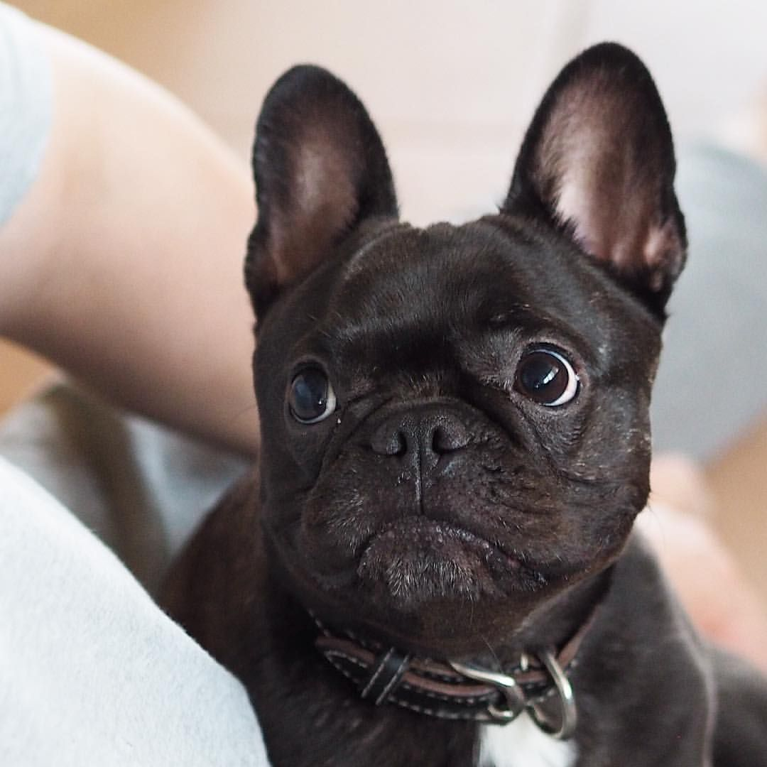Theo The French Bulldog Puppy He Has Such An Adorable Little