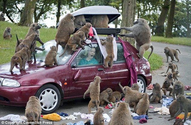 You Cheeky Monkeys Safari Park Baboons Ransack Cars After