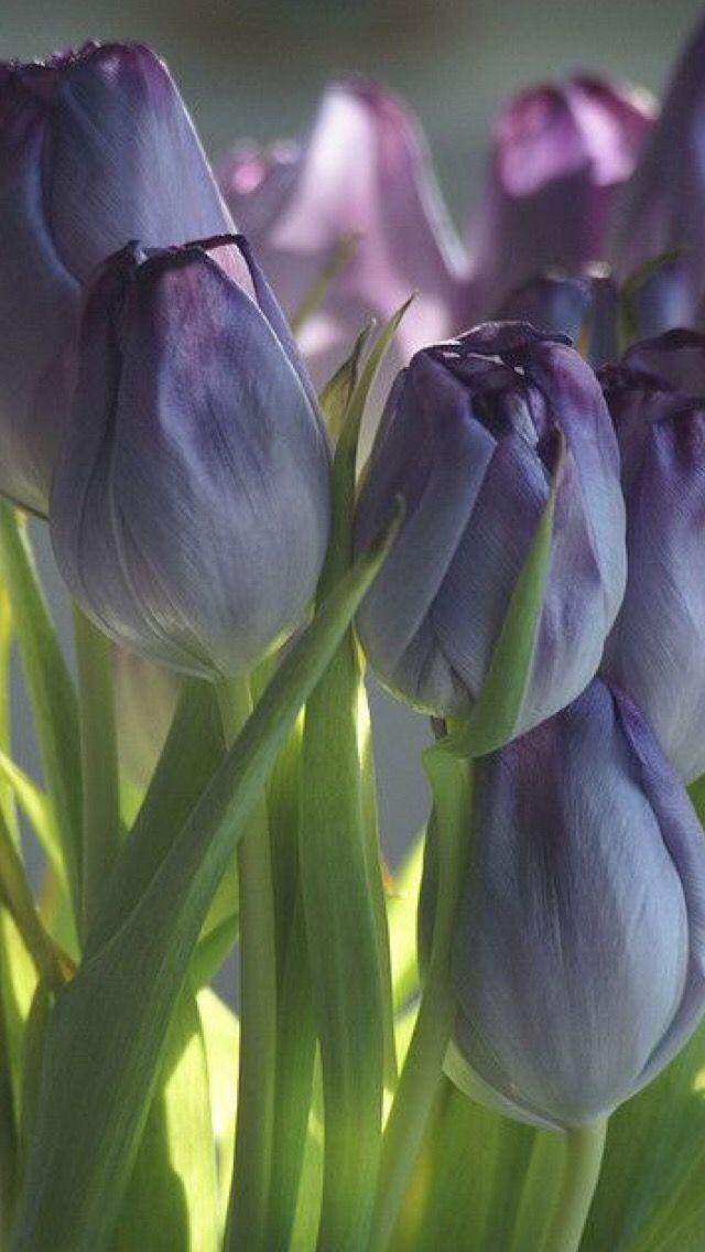 Oboi Iphone Wallpaper Flowers Tyulpany Krasivye Cvety