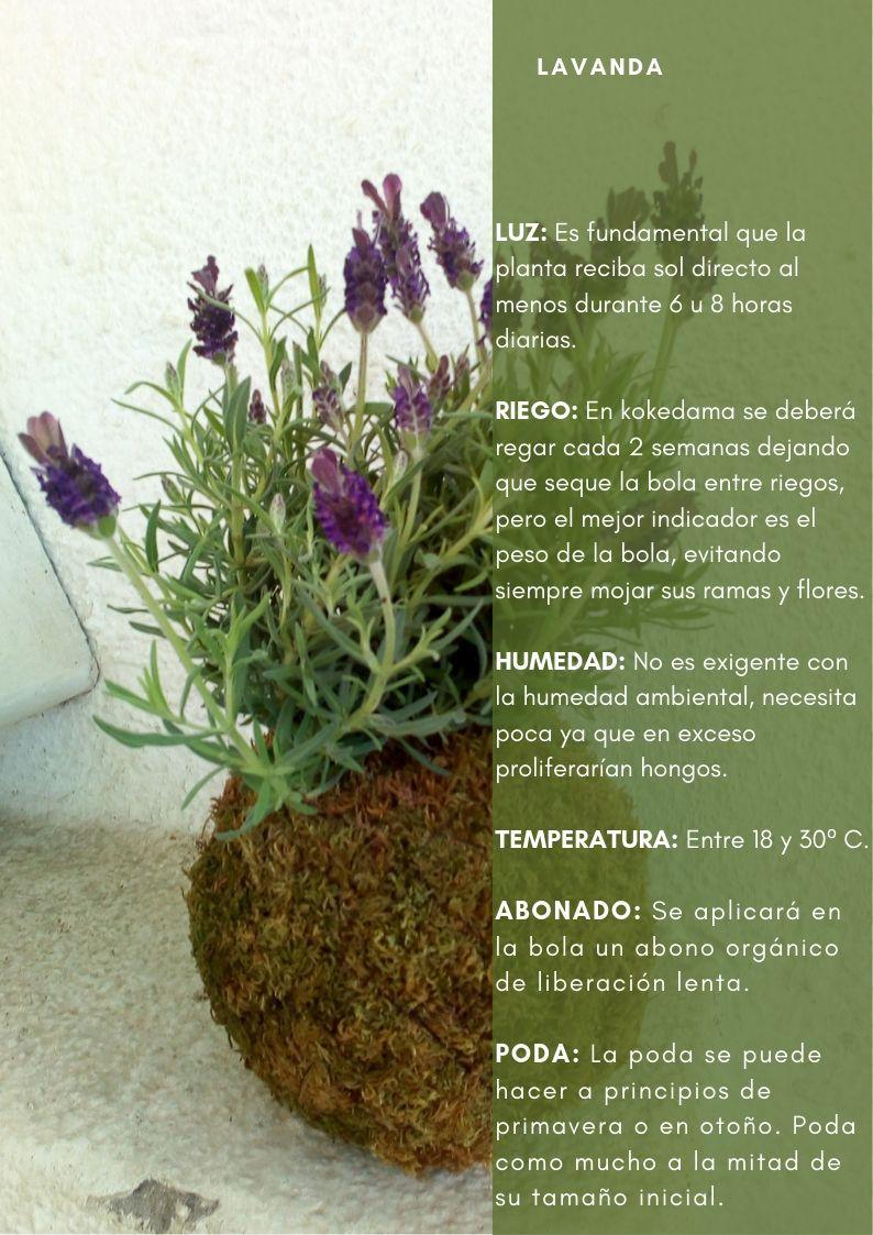 Planta De Lavanda Y Sus Cuidados