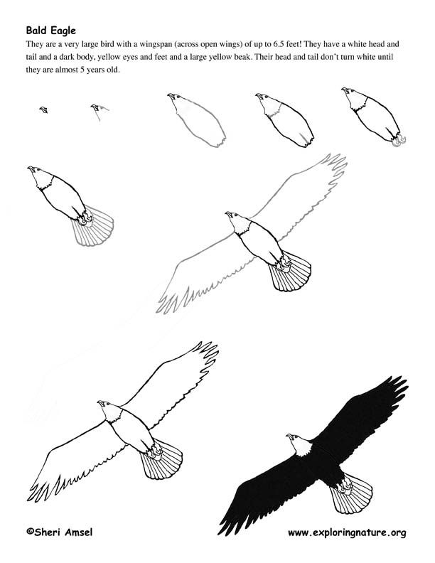 Drawing realistic birds step by step eagle bald drawing lesson