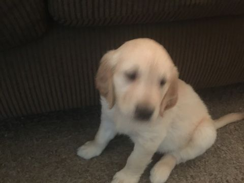 Litter Of 4 Golden Retriever Puppies For Sale In Colorado Springs