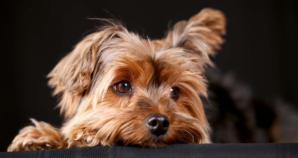 Cachorros yorkshire en venta en 2020 yorkshire terriers