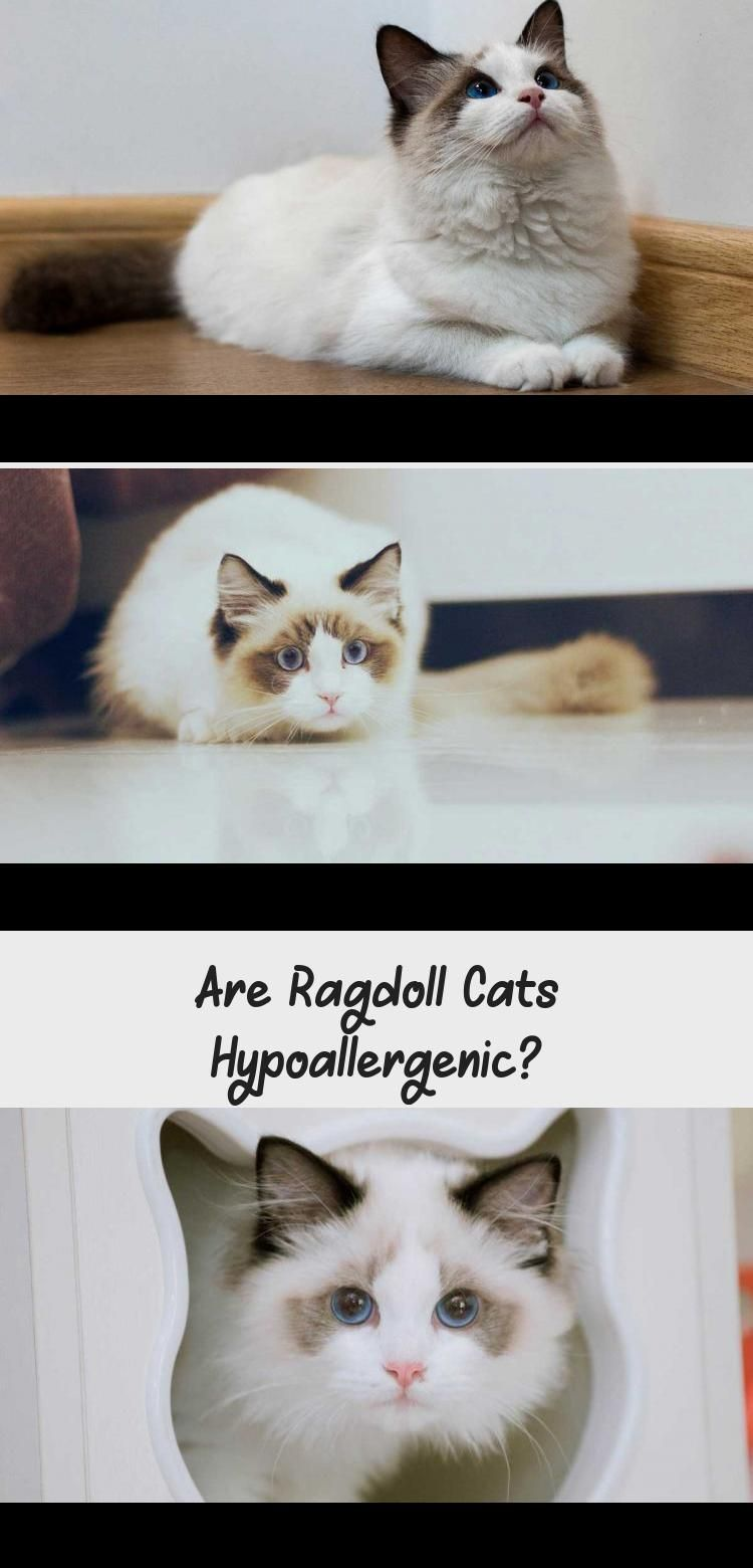 Photo of ¿Son los gatos Ragdoll hipoalergénicos? – GATOS