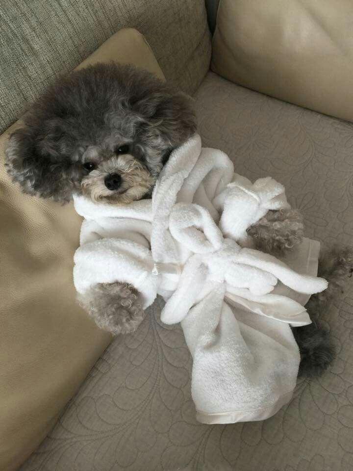 Pin von Angela Trahan auf Pets | Pinterest | Pudel und Hunde