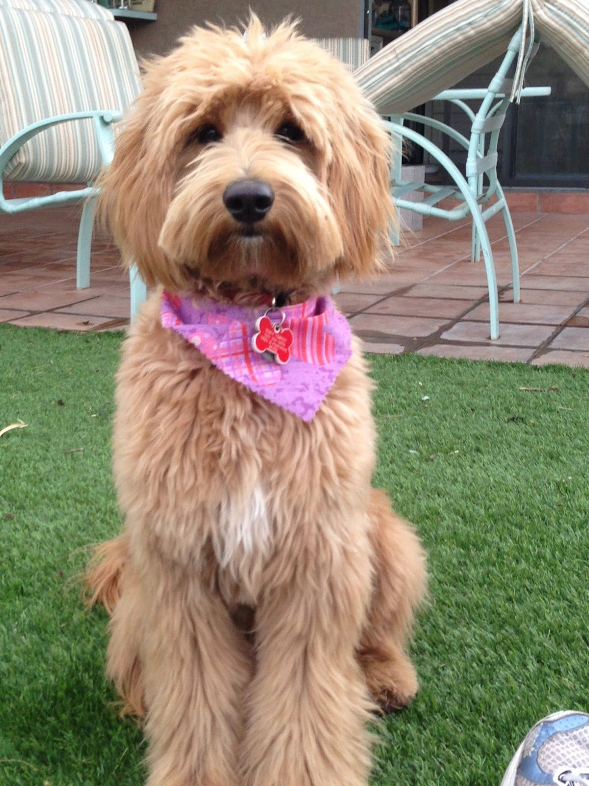 About The Breed First Bred In Australia In The 1980 S Labradoodles Are Hybrid Mix Labradoodle Grooming Goldendoodle Haircuts Australian Labradoodle Grooming