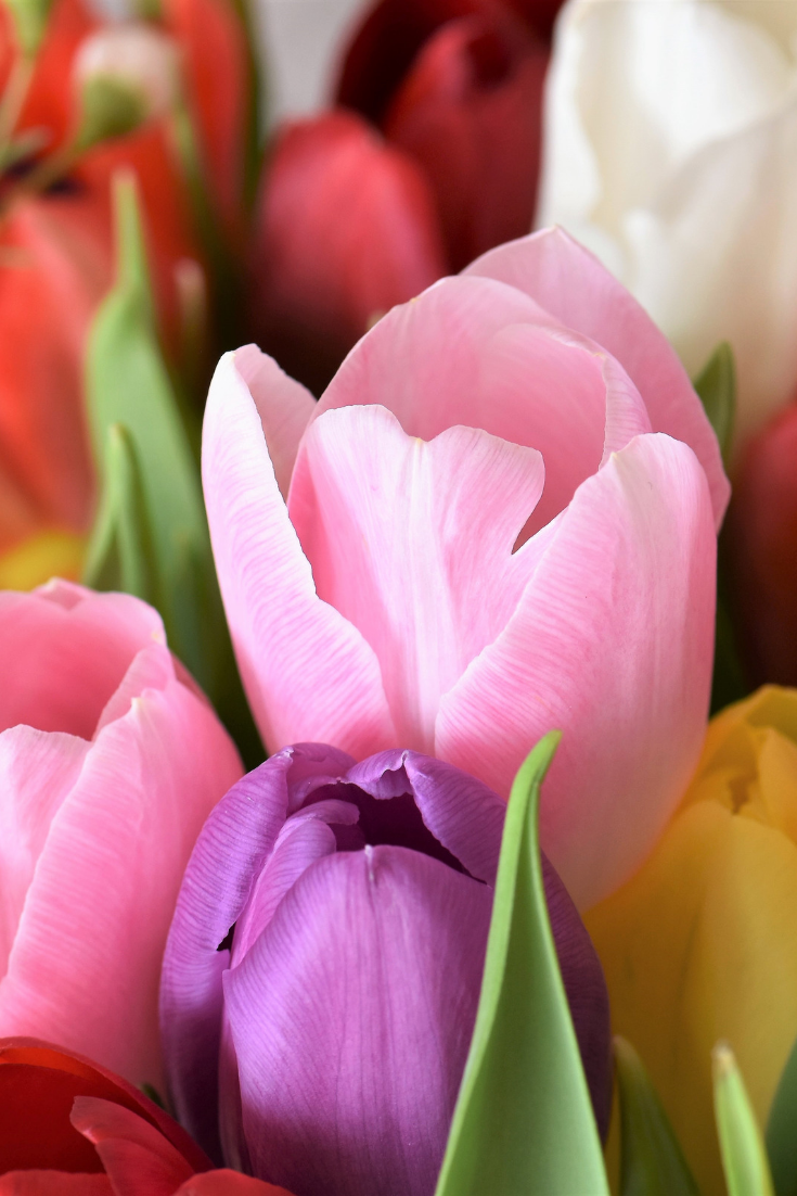 Brief History Of Tulips Plant Profiles Heirloom Gardener Planting Tulips Tulips Planting Bulbs