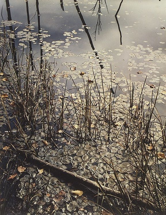Pond, grass and lily pads, Madison, New Hampshire / Eliot Porter, 1952
