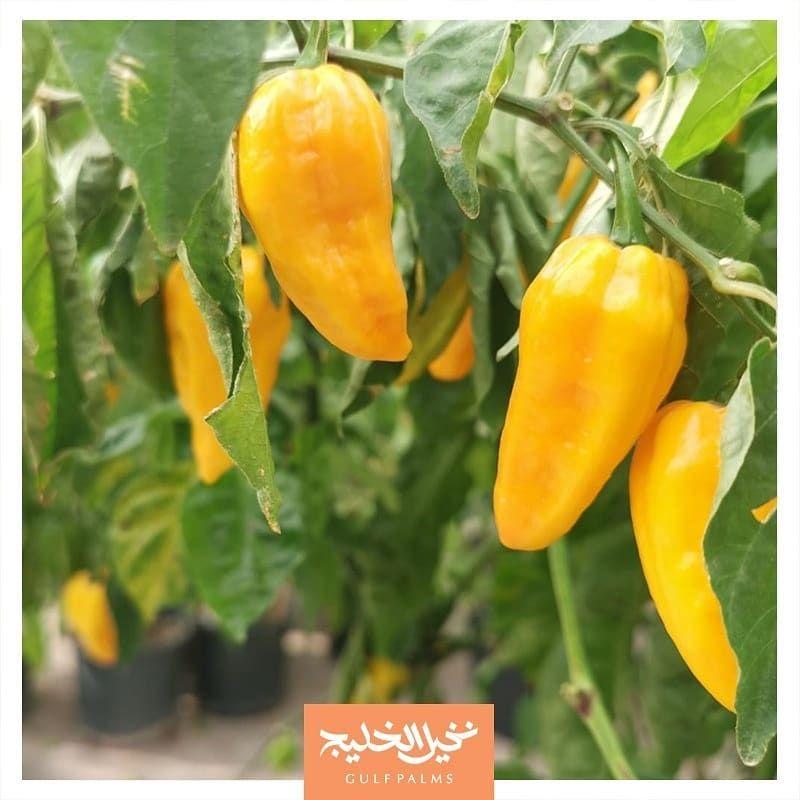 Capsicum Chinense Habanero وفرنا لكم شتلات مثمرة من الفلفل الحار من فصيلة الهابنيرو وهو من أشد أنواع الفلفل حرارة للطلب وا Stuffed Peppers Plants Vegetables
