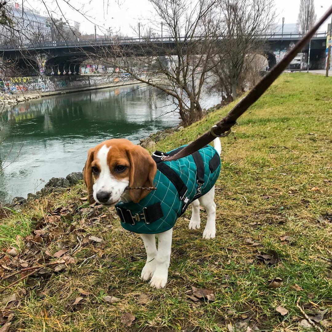 Epingle Sur Beagle