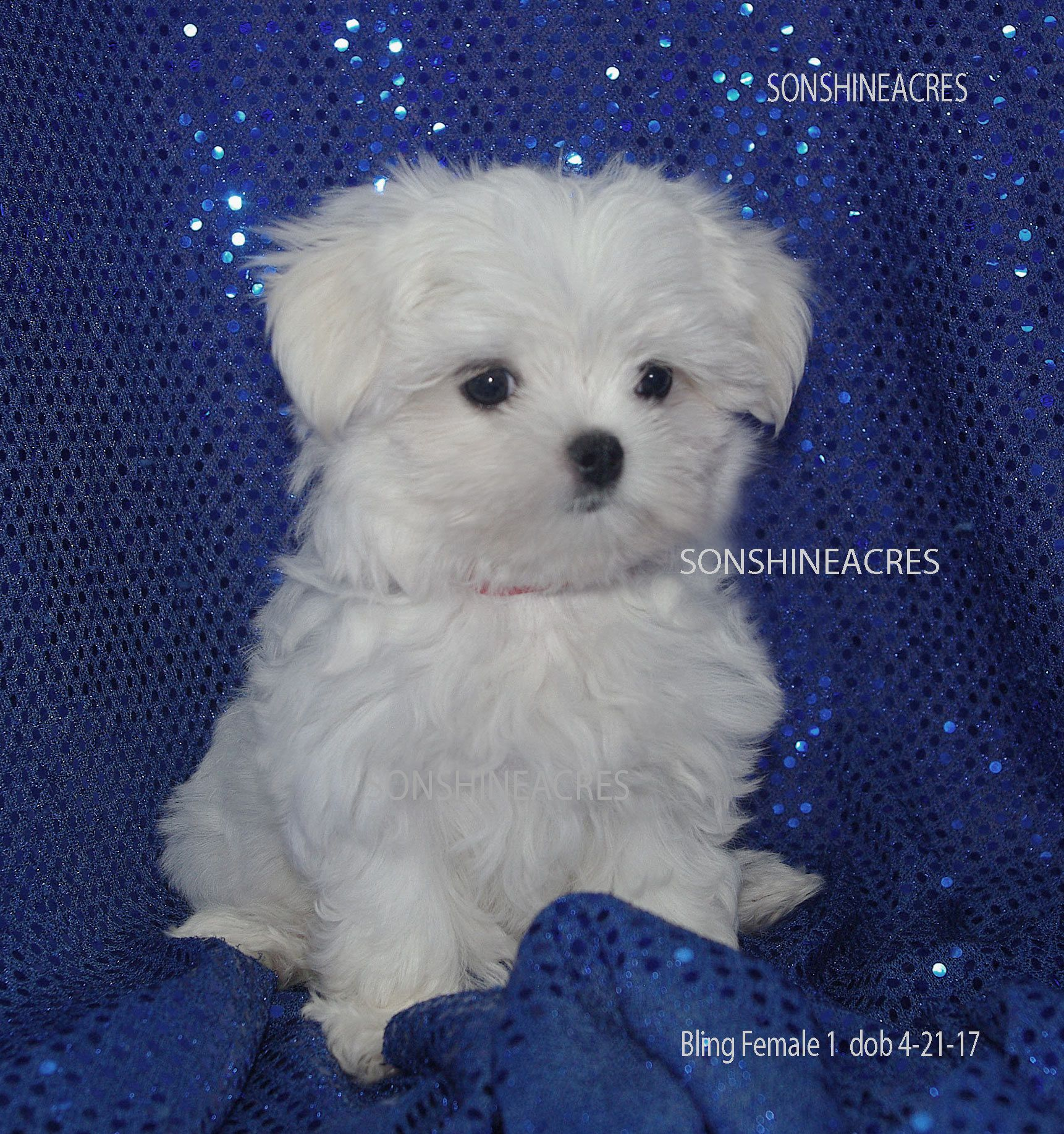 Www Sonshineacres Com Available Php Maltese Dogs Maltese Puppy