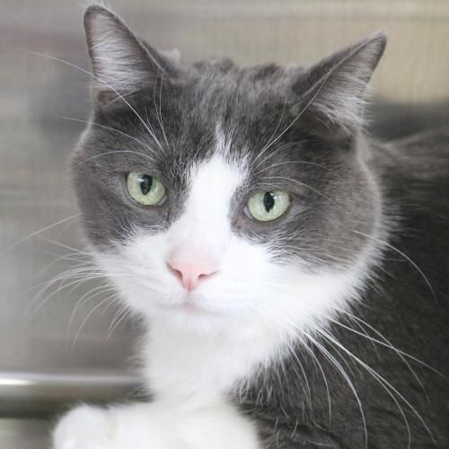Hi I M Zombie I M A 5 Year Old Neutered Male Gray And White Domestic Short Hair Grey And White Cat Grey And White Kitten Grey Cats