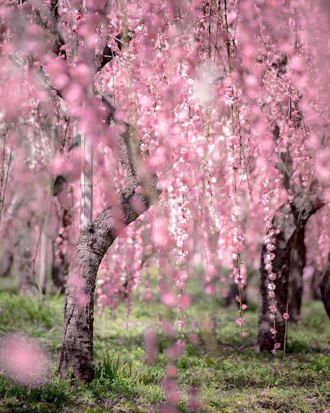 Weeping Cherry Trees By Takahiro Ito Takanii2015 On Instagram Cherry Trees Garden Cherry Tree Weeping Cherry Tree