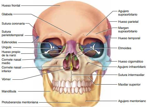 Resultado de imagen para hueso cigomatico 3D | ANATOMÍA HUMANA ...