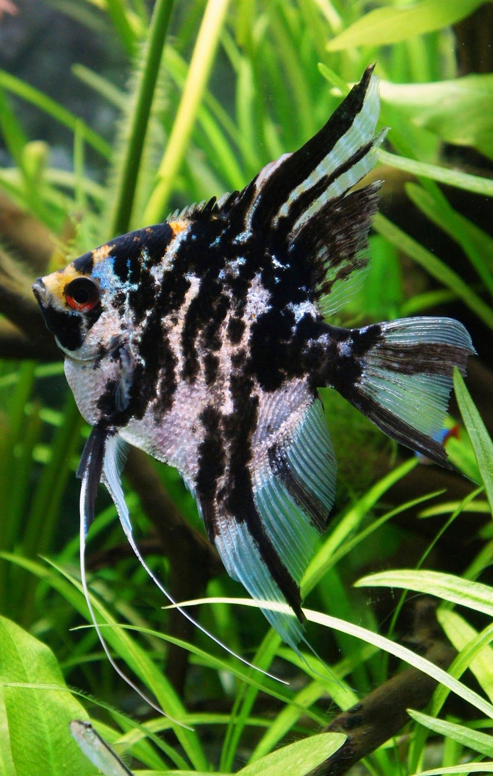 Top 10 Most Beautiful Freshwater Fish In The World 2 Angel Fish